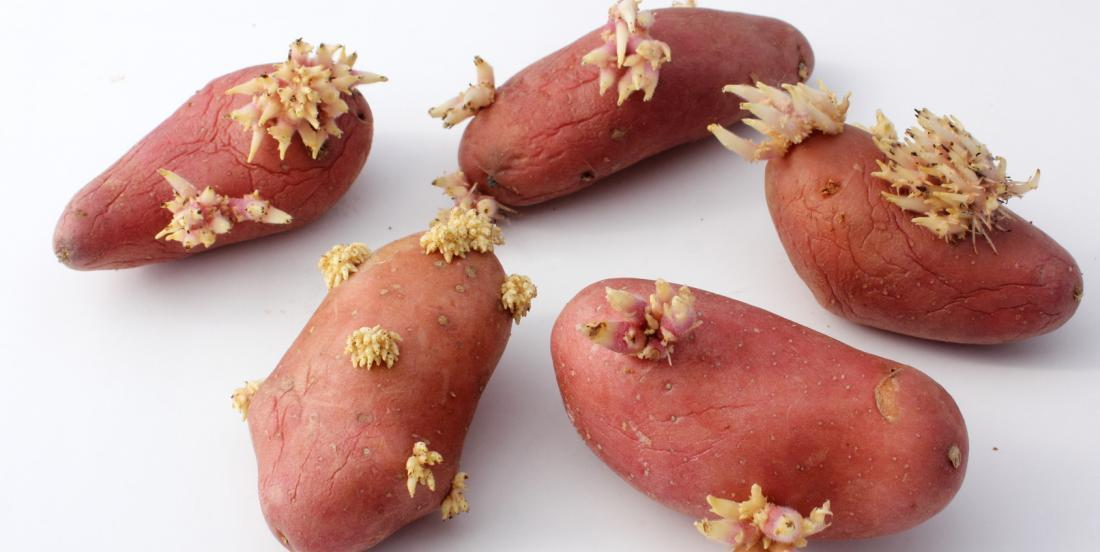 Method to keep your potatoes from sprouting