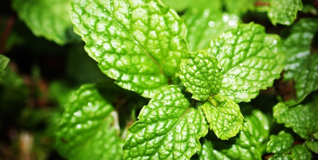 8 benefits of mint
