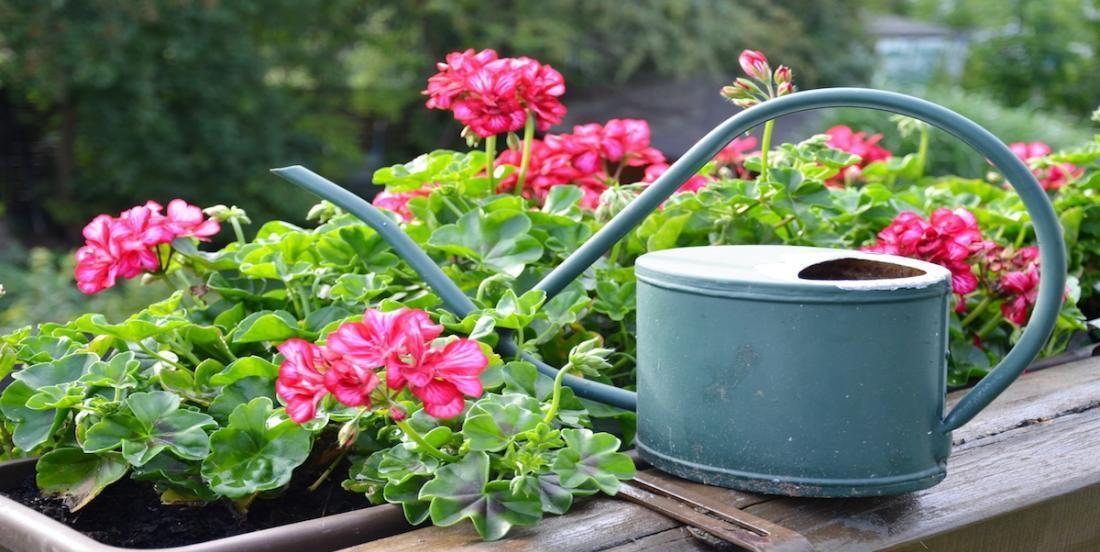 5 wonderful tips to grow beautiful geraniums