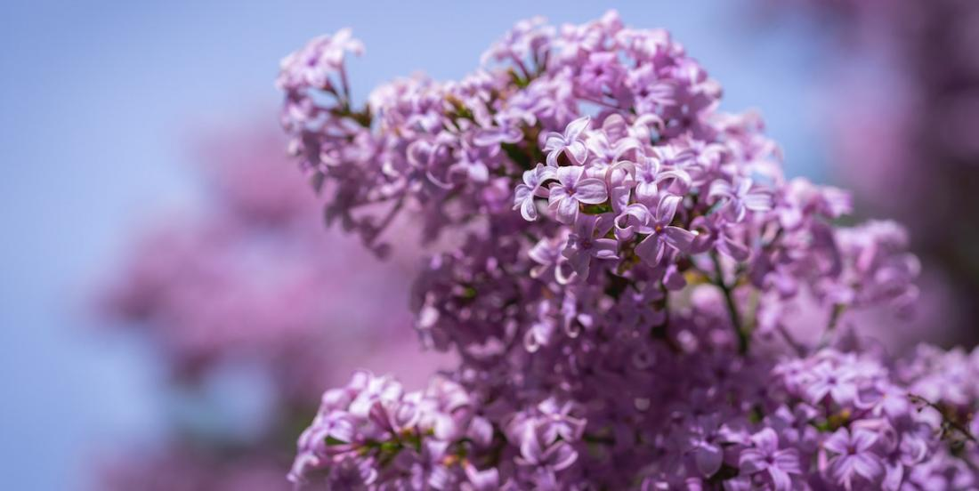 12 things to know about lilac!