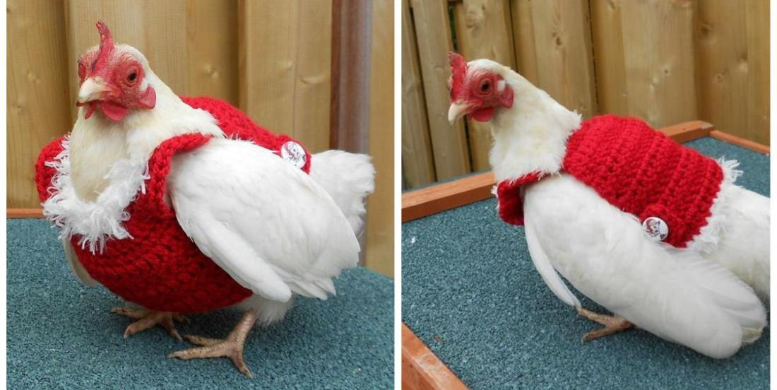 This chicken is wearing a Christmas sweater and it is way too cute!
